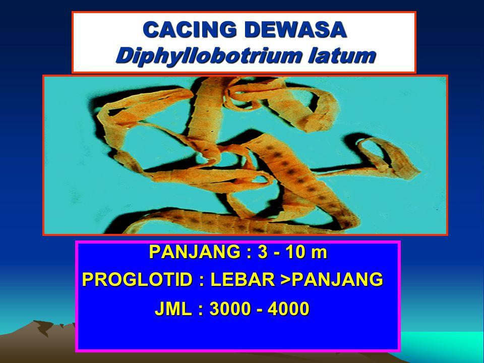 CACING DEWASA Diphyllobotrium latum PANJANG : 3 - 10 m PROGLOTID : LEBAR >PANJANG JML : 3000 - 4000 JML : 3000 - 4000