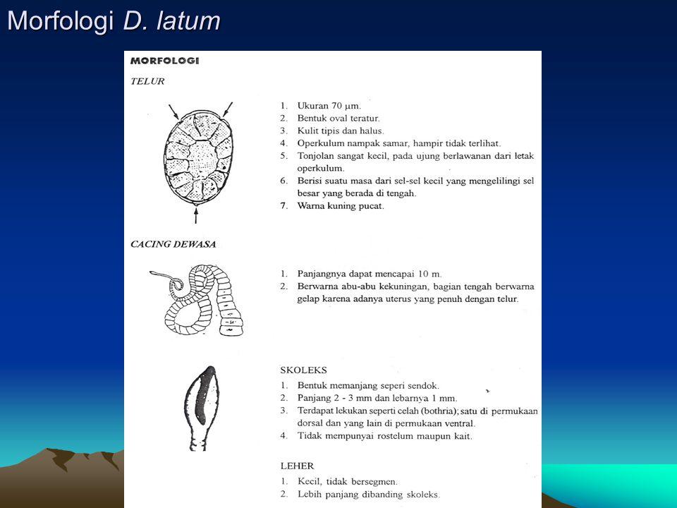 Morfologi D. latum