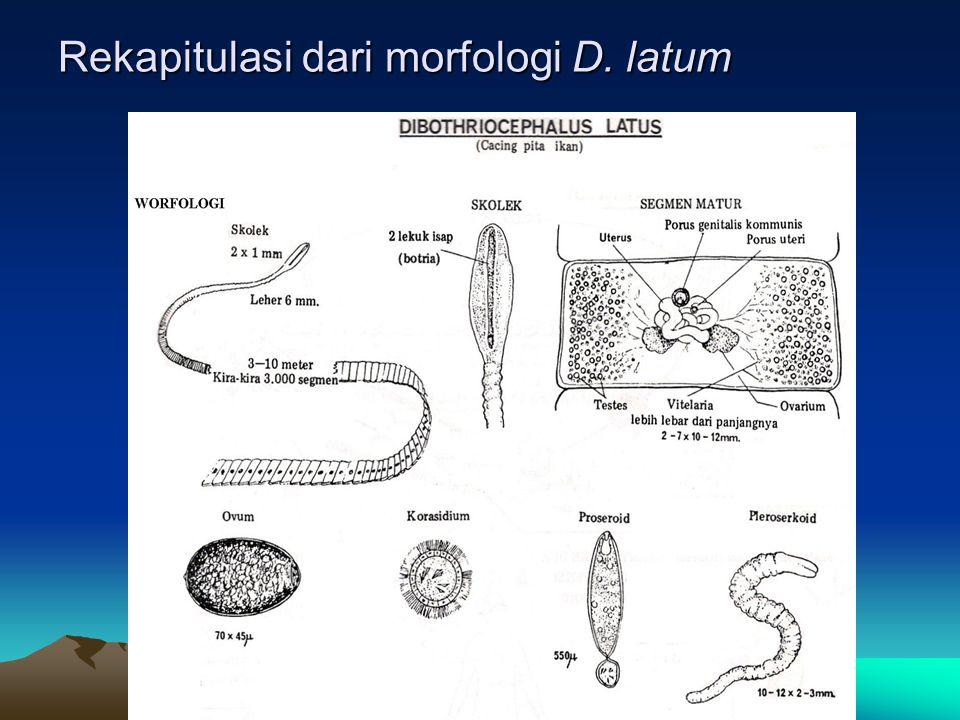 Rekapitulasi dari morfologi D. latum