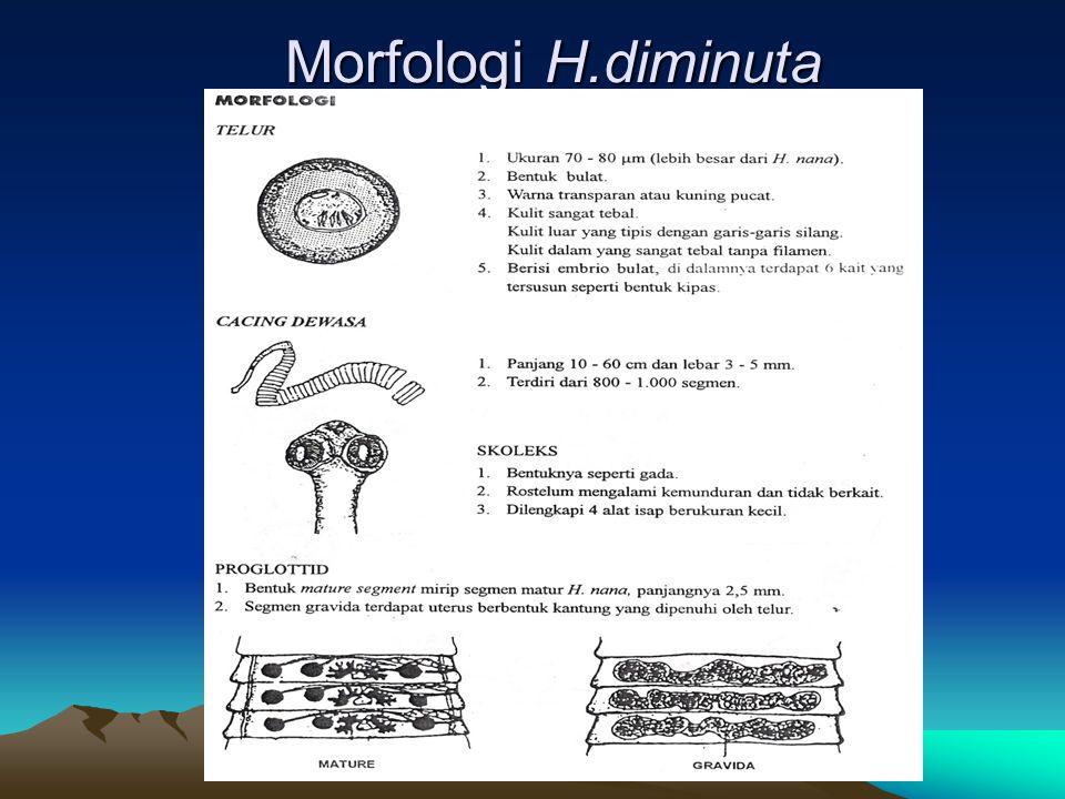 Morfologi H.diminuta