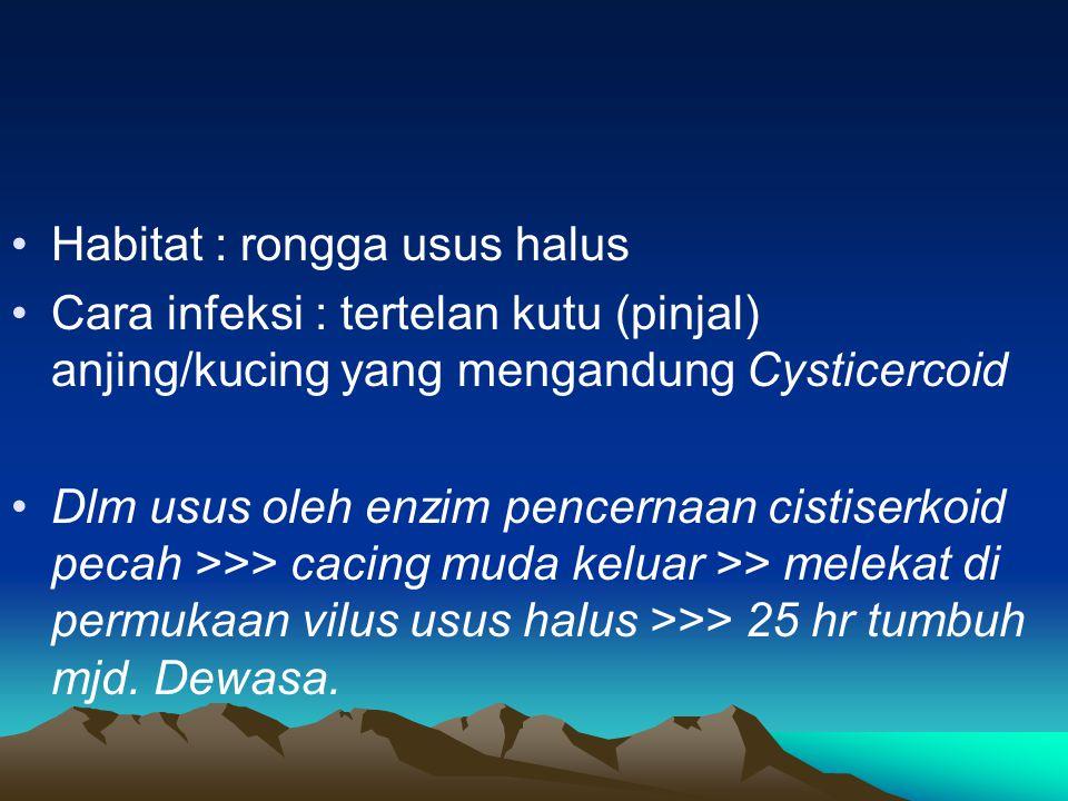 Habitat : rongga usus halus Cara infeksi : tertelan kutu (pinjal) anjing/kucing yang mengandung Cysticercoid Dlm usus oleh enzim pencernaan cistiserkoid pecah >>> cacing muda keluar >> melekat di permukaan vilus usus halus >>> 25 hr tumbuh mjd.