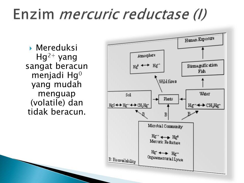 MMereduksi Hg 2+ yang sangat beracun menjadi Hg 0 yang mudah menguap (volatile) dan tidak beracun.