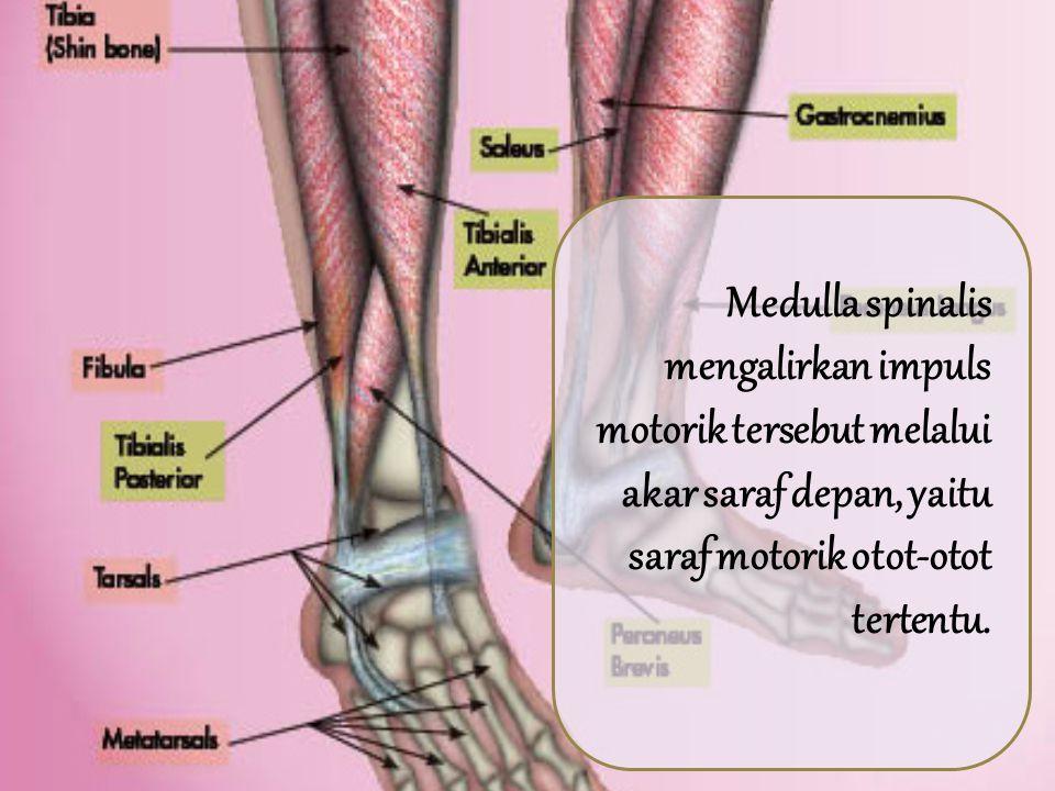 Impuls yang menimbulkan gerak dari pusat motorik di lobus frontalis serebrum keluar dari traktus piramidalisnya dan berakhir di sekeliling sel saraf yang menyusun tanduk depan substansi kelabu medulla spinalis