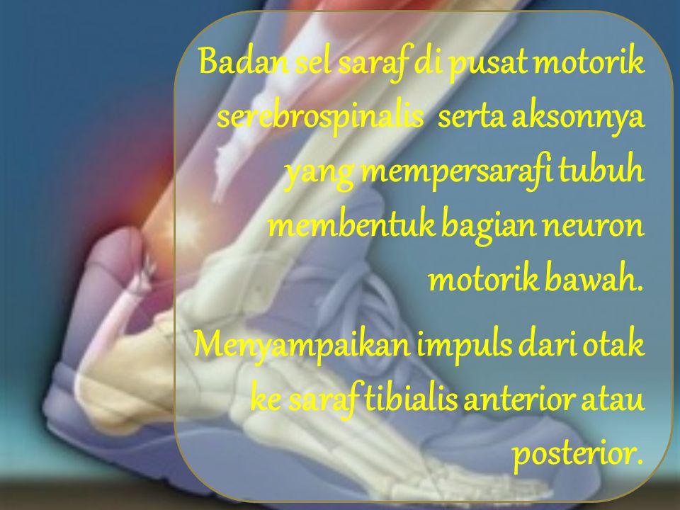 Medulla spinalis mengalirkan impuls motorik tersebut melalui akar saraf depan, yaitu saraf motorik otot-otot tertentu.