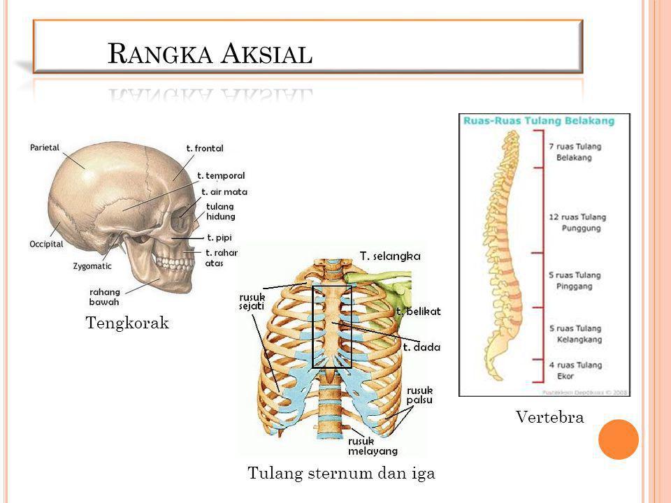 Tengkorak Tulang sternum dan iga Vertebra
