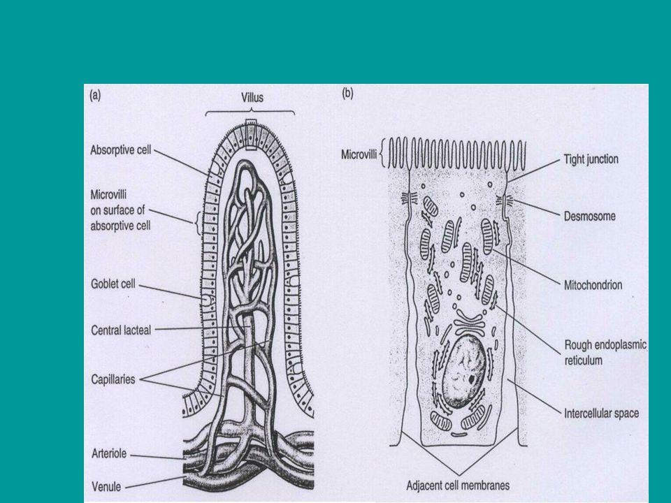 7 Kelenjar saliva mensekret air dan enzim digesti Sekresi kel.
