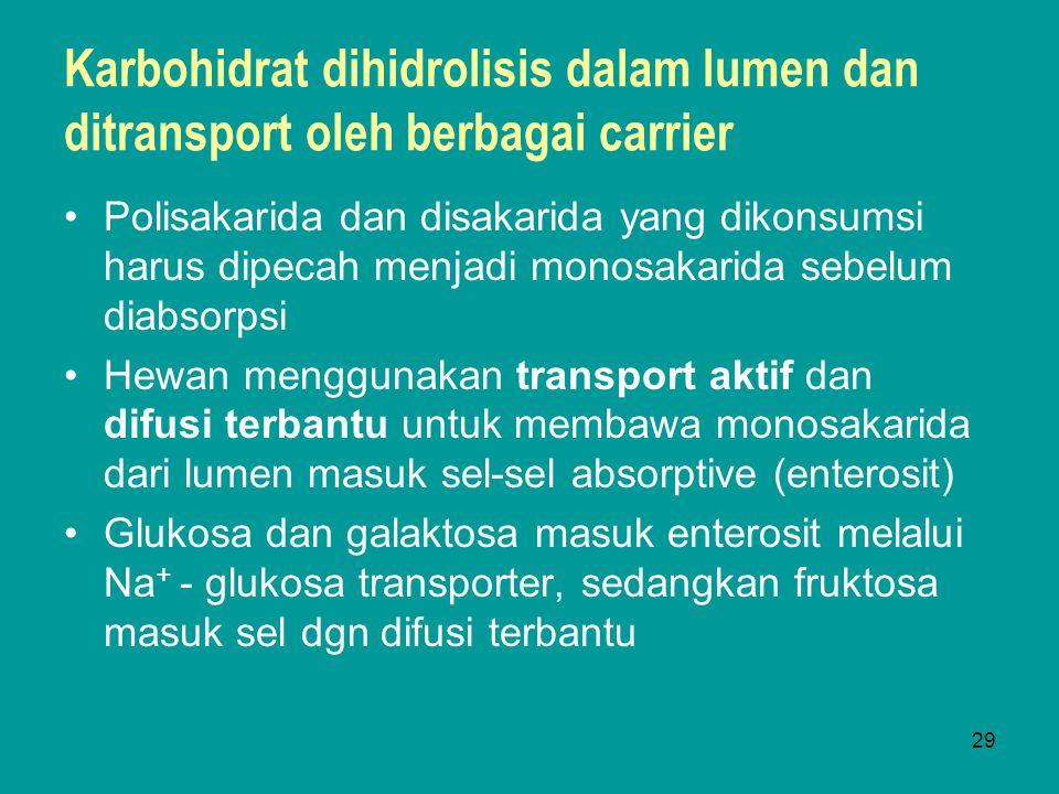 29 Karbohidrat dihidrolisis dalam lumen dan ditransport oleh berbagai carrier Polisakarida dan disakarida yang dikonsumsi harus dipecah menjadi monosa