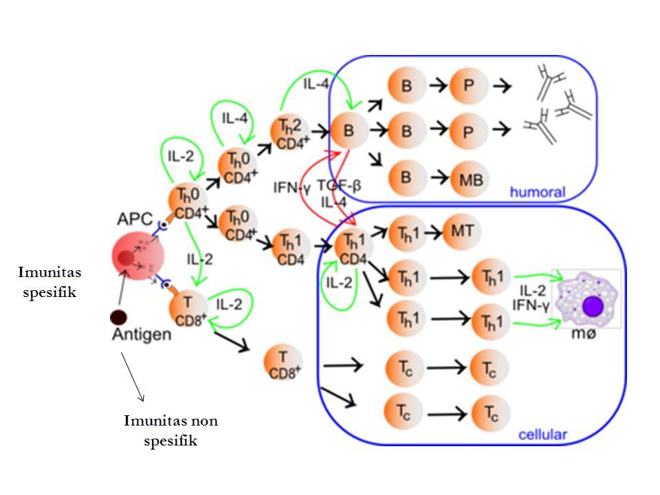 Cytotoxic T Lymphocyte (T CD8+) Molekul antigen diperkenalkan kepada sel T CD8+ oleh MHC kelas I → lisis sel target.