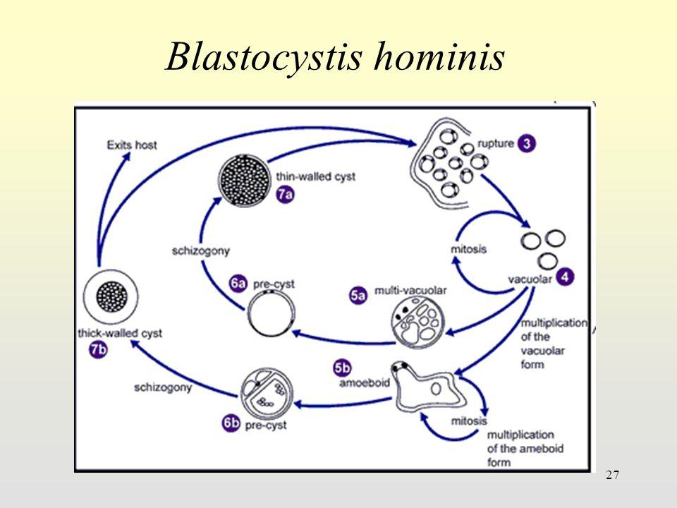 27 Blastocystis hominis