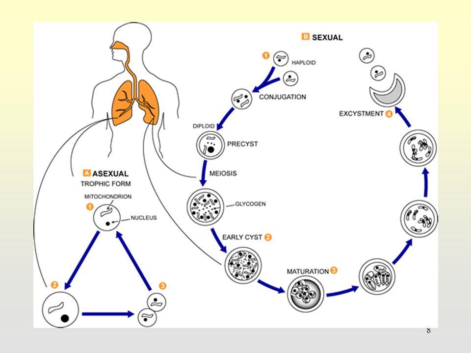 Isospora belli & Isospora hominis Imunokompeten: asimtomatik atau gejala berat Imunokompromais: diare berat, infeksi ekstraintestinal Penularan : 1.