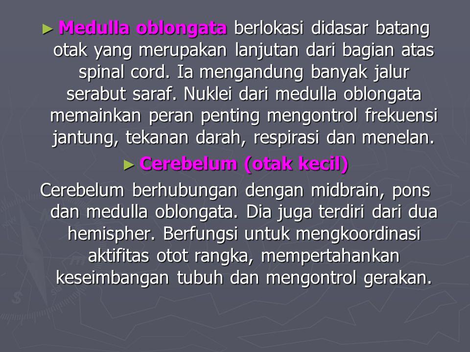 ► Medulla oblongata berlokasi didasar batang otak yang merupakan lanjutan dari bagian atas spinal cord. Ia mengandung banyak jalur serabut saraf. Nukl