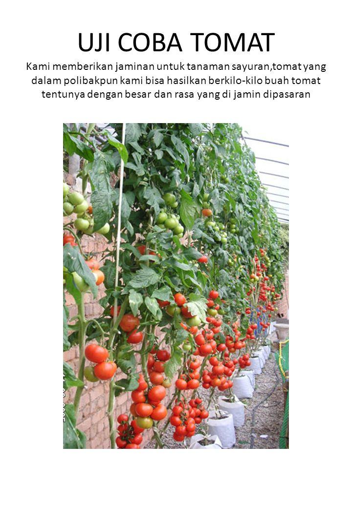 UJI COBA TOMAT Kami memberikan jaminan untuk tanaman sayuran,tomat yang dalam polibakpun kami bisa hasilkan berkilo-kilo buah tomat tentunya dengan be