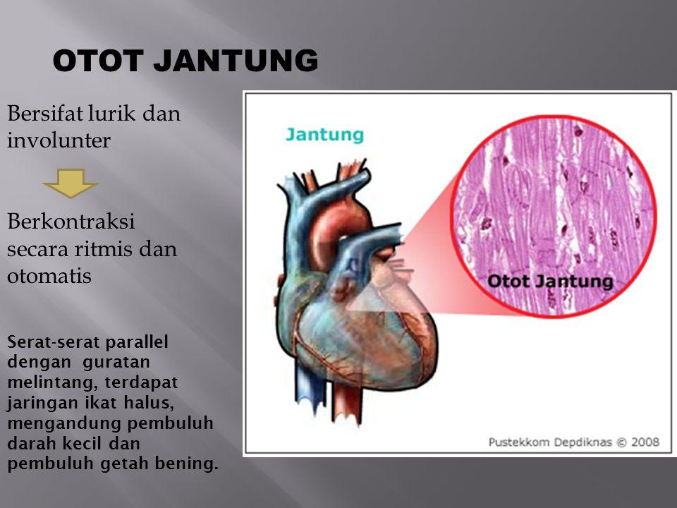  Arteri pulmonalis, merupakan pembuluh darah yang keluar dari ventrikel dekstra menuju ke paru-paru.