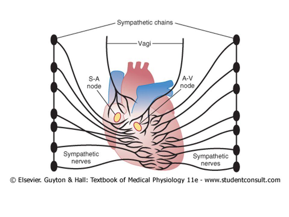 Perangsangan oleh Vagus Efek asetilkholin mengurangi – Kecepatan irama nodus SA – Eksitabilitas serat penghubung otot atrium dan nodus AV  transmisi ke ventrikel melambat Rangsangan sangat kuat – Nodus SA, atau transmisi ke nodus AV stop – Ventrikel berhenti berdenyut 5-20 detik – Ventrikel kontraksi 15-40 kali/menit, disebut ventricular escape