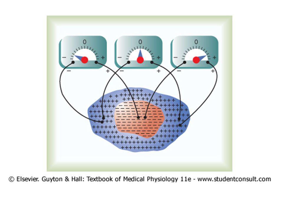 Arus listrik di dada Jantung berada di medium konduktif – Depolarisasi, listrik dari (-) di jantung ke sekitarnya Arus mulai di septum ventrikel dekat Purkinje, – Daerah endokardium lebih negatif – Arus mengalir menurut ellips – Secara matematik, (-) ke basis, (+) ke apex – Sebelum depolarisasi, arus membali 0,01 detik Arus mengalir umumnya dari basis ke apex – Basis negatif, apex positif