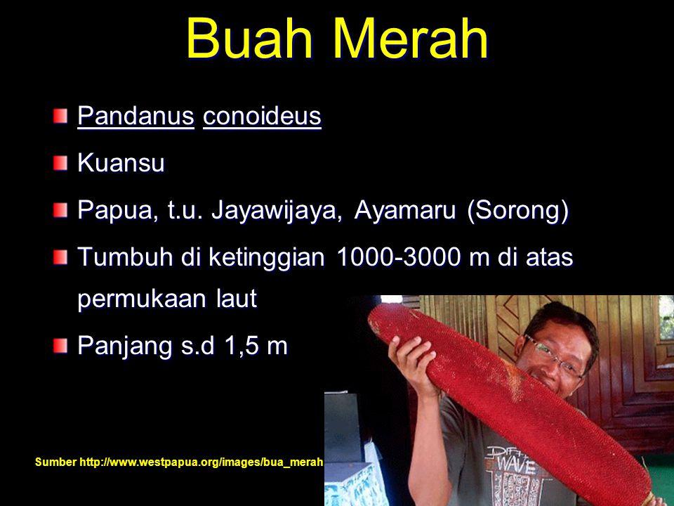 Buah Merah Pandanus conoideus Kuansu Papua, t.u. Jayawijaya, Ayamaru (Sorong) Tumbuh di ketinggian 1000-3000 m di atas permukaan laut Panjang s.d 1,5
