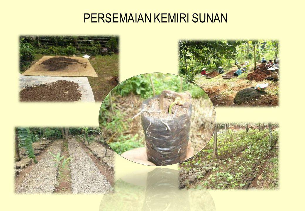 KARAKTER UMUM  Kemiri Sunan merupakan tumbuhan asli dari Philipina, pada saat ini ditemukan tumbuh secara alami di beberapa daerah di Jawa Barat (Duke, 1983).