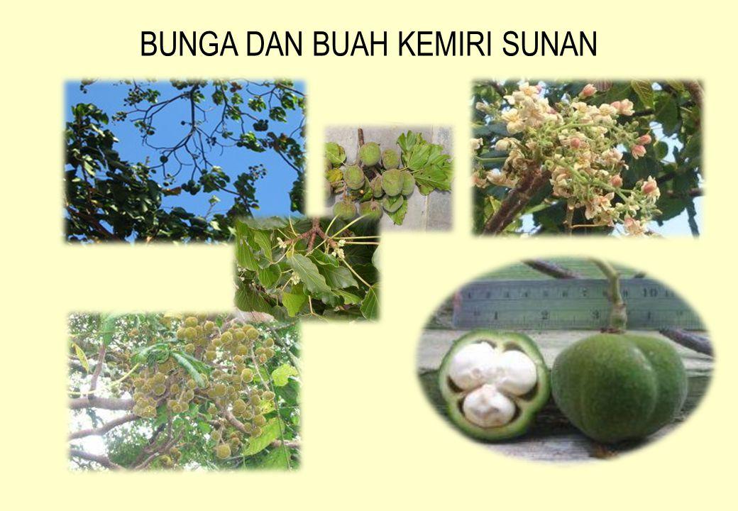 BUAH dan KERNEL KEMIRI SUNAN Perbandingan antara biji dan kernel Kemiri Sunan (kiri) dan Biji dan kernel Jarak Pagar (kanan) 1 tandan bisa menghasilkan sampai 35 buah Tiap buah mengandung 3 biji