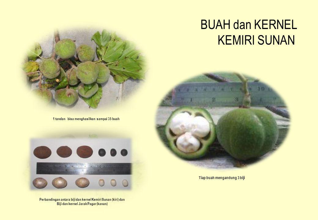 BUAH dan KERNEL KEMIRI SUNAN Perbandingan antara biji dan kernel Kemiri Sunan (kiri) dan Biji dan kernel Jarak Pagar (kanan) 1 tandan bisa menghasilka