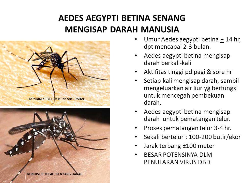 AEDES AEGYPTI BETINA SENANG MENGISAP DARAH MANUSIA Umur Aedes aegypti betina + 14 hr, dpt mencapai 2-3 bulan. Aedes aegypti betina mengisap darah berk