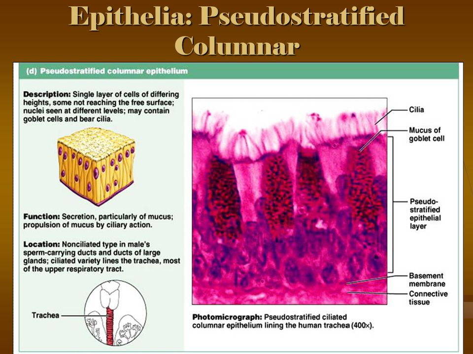 Epithelia: Pseudostratified Columnar
