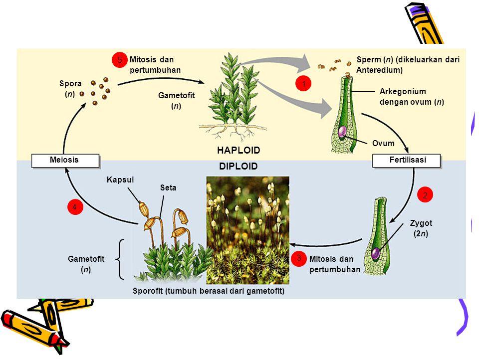 Sperm (n) (dikeluarkan dari Anteredium) Arkegonium dengan ovum (n) Ovum Fertilisasi Zygot (2n) Mitosis dan pertumbuhan Sporofit (tumbuh berasal dari g