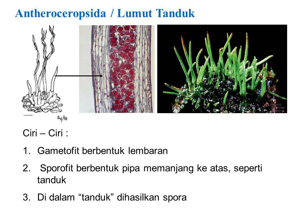 "Antheroceropsida / Lumut Tanduk Ciri – Ciri : 1.Gametofit berbentuk lembaran 2. Sporofit berbentuk pipa memanjang ke atas, seperti tanduk 3.Di dalam """