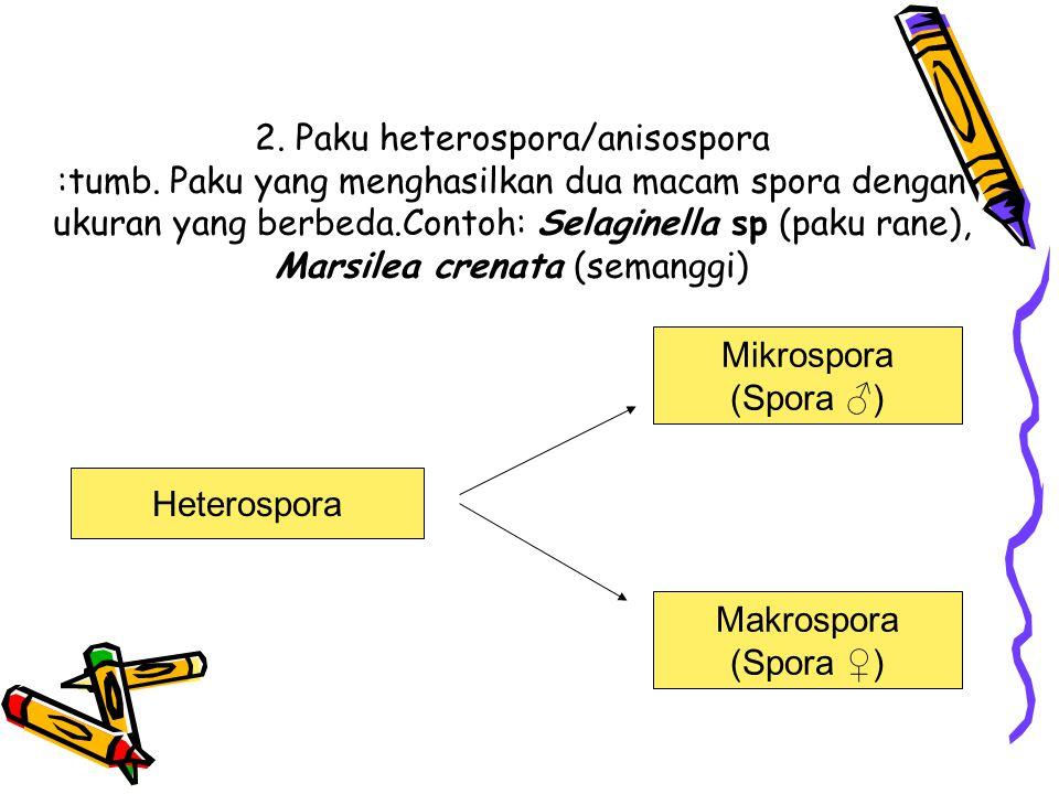 2. Paku heterospora/anisospora :tumb. Paku yang menghasilkan dua macam spora dengan ukuran yang berbeda.Contoh: Selaginella sp (paku rane), Marsilea c