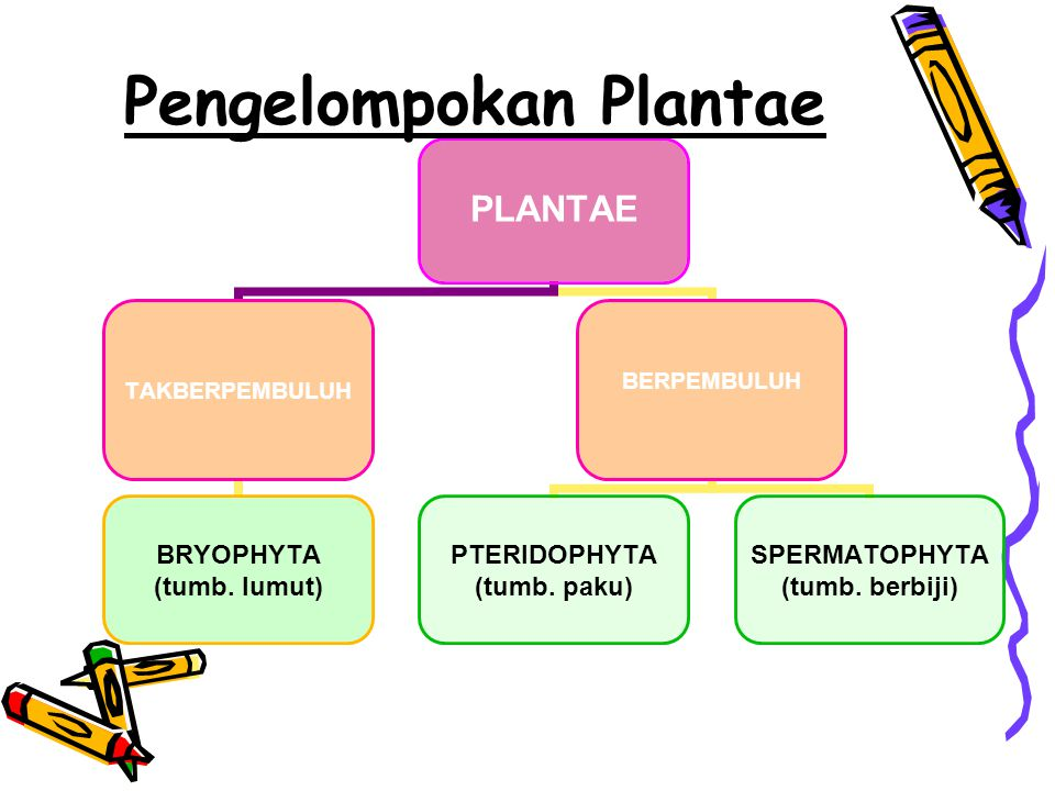 PLANTAE TAKBERPEMBULUH BRYOPHYTA (tumb. lumut) BERPEMBULUH PTERIDOPHYTA (tumb. paku) SPERMATOPHYTA (tumb. berbiji) Pengelompokan Plantae
