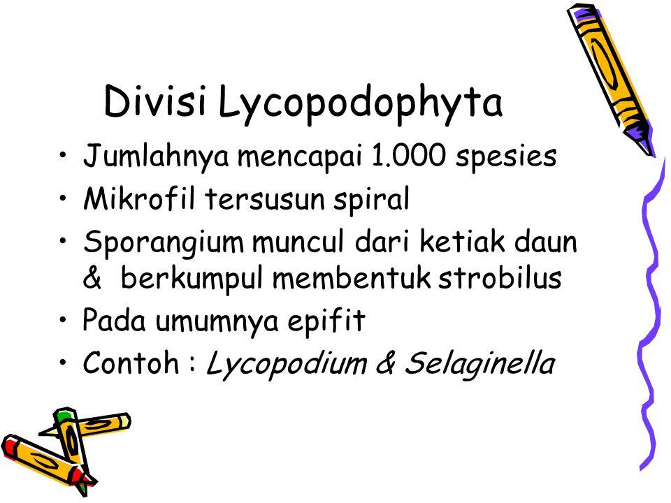 Divisi Lycopodophyta Jumlahnya mencapai 1.000 spesies Mikrofil tersusun spiral Sporangium muncul dari ketiak daun & berkumpul membentuk strobilus Pada