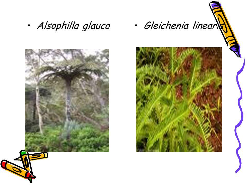 Alsophilla glaucaGleichenia linearis