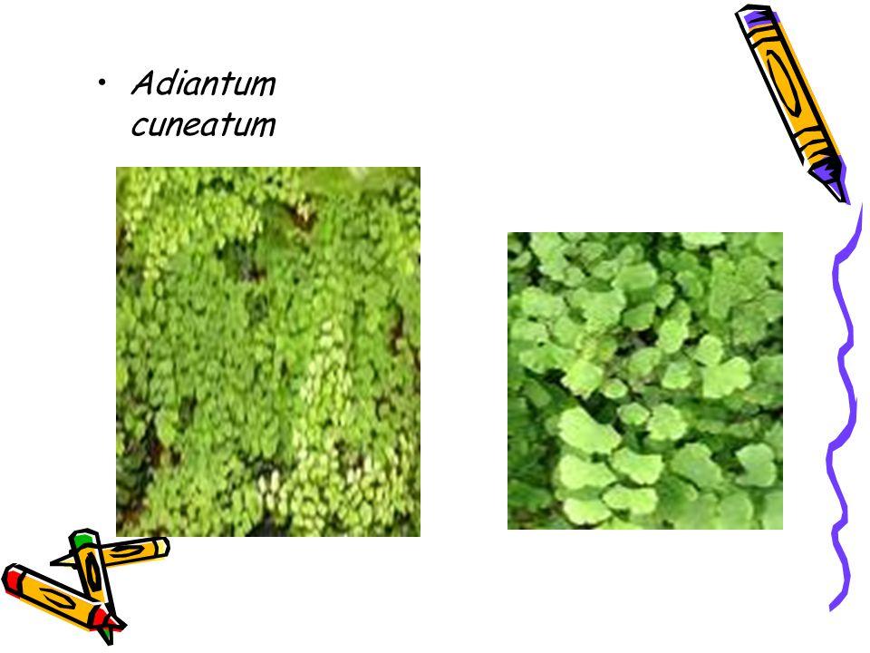 Adiantum cuneatum