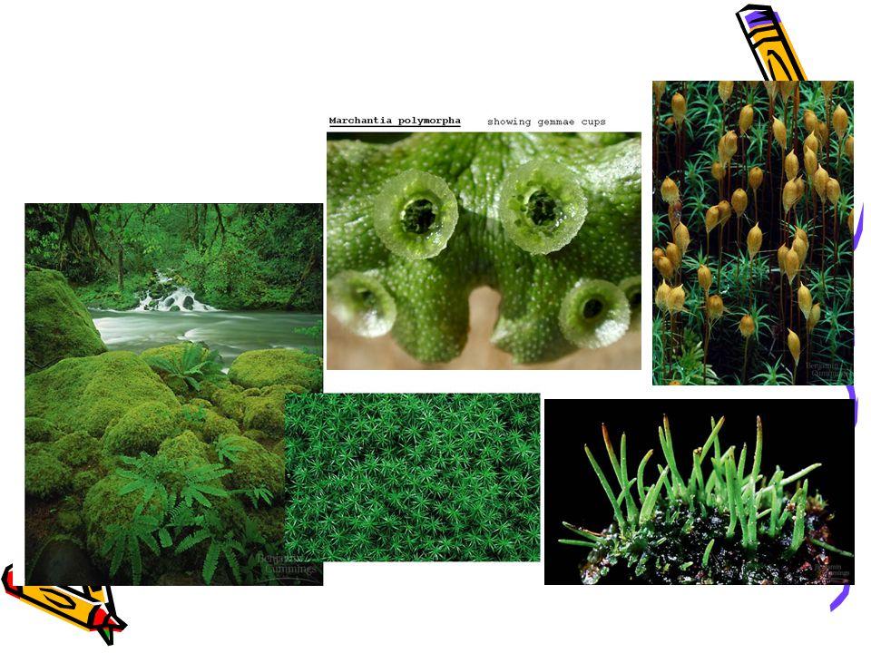 Antheroceropsida / Lumut Tanduk Ciri – Ciri : 1.Gametofit berbentuk lembaran 2.