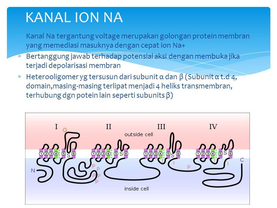  Kanal Na tergantung voltage merupakan golongan protein membran yang memediasi masuknya dengan cepat ion Na+  Bertanggung jawab terhadap potensial a
