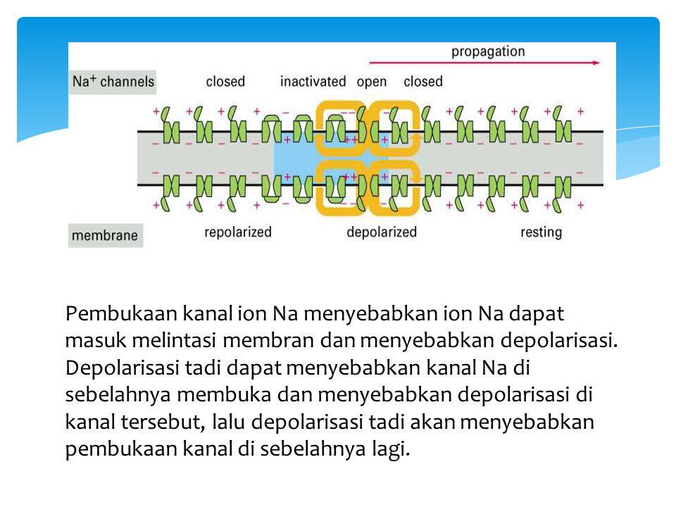 Pembukaan kanal ion Na menyebabkan ion Na dapat masuk melintasi membran dan menyebabkan depolarisasi. Depolarisasi tadi dapat menyebabkan kanal Na di