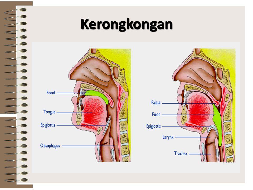Kerongkongan Pada kerongkongan terdapat faring (tekak) yang merupakan persimpangan antara tenggorokan dengan kerongkongan Pada pangkal faring terdapat