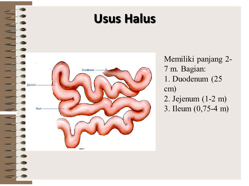 Lambung… Asam lambung berfungsi untuk membunuh kuman penyakit yang masuk melalui makanan, megaktifkan pepsinogen menjadi pepsin Pepsin mengubah protei