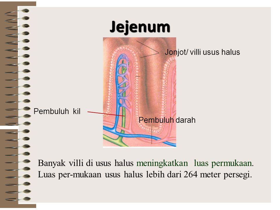 Usus Dua Belas Jari Pada usus dua belas jari (duodenum) bermuara dua saluran dari kantung empedu dan pankreas. Empedu yang dihasilkan oleh hati berfun