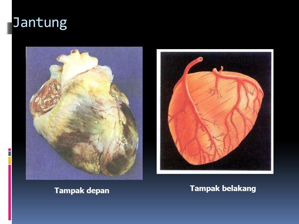 Jantung Ruang jantung: a.dua serambi (atrium) b.