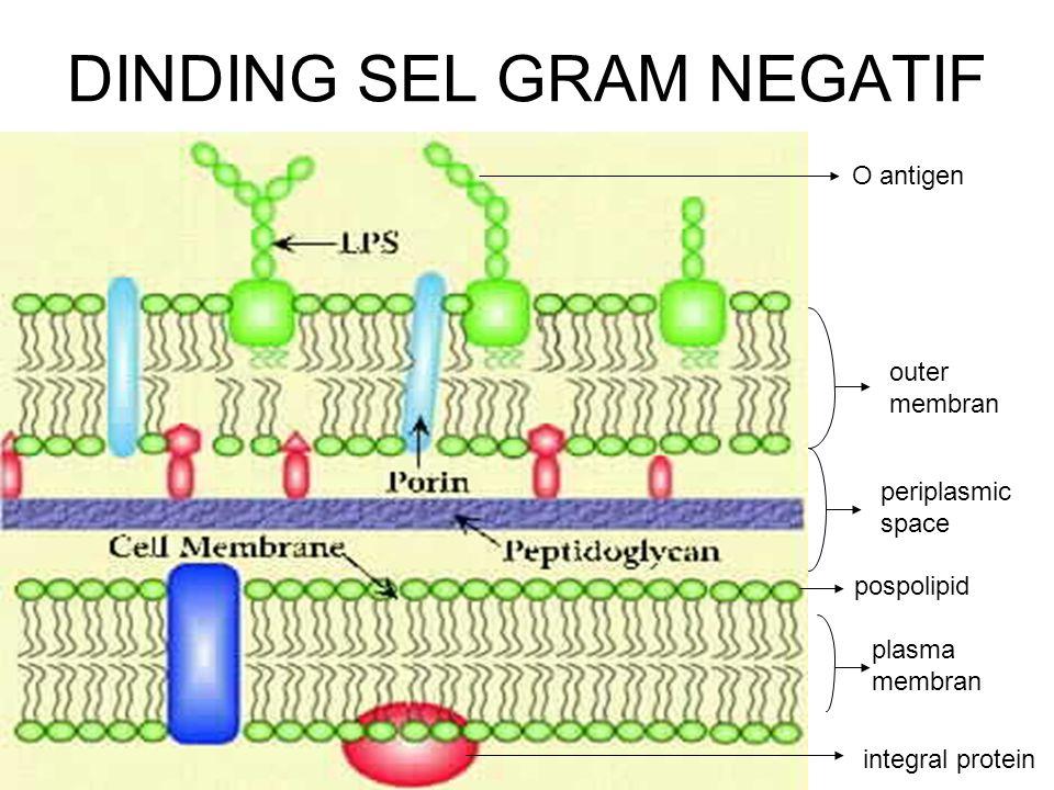 DINDING SEL GRAM NEGATIF pospolipid integral protein plasma membran periplasmic space outer membran O antigen