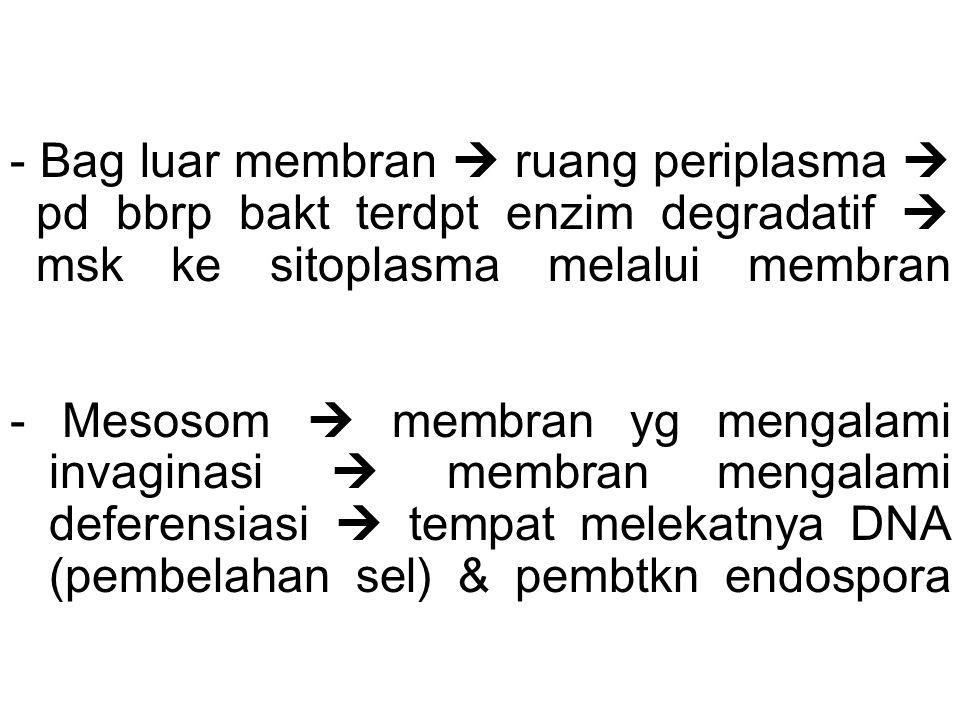 - Bag luar membran  ruang periplasma  pd bbrp bakt terdpt enzim degradatif  msk ke sitoplasma melalui membran - Mesosom  membran yg mengalami invaginasi  membran mengalami deferensiasi  tempat melekatnya DNA (pembelahan sel) & pembtkn endospora