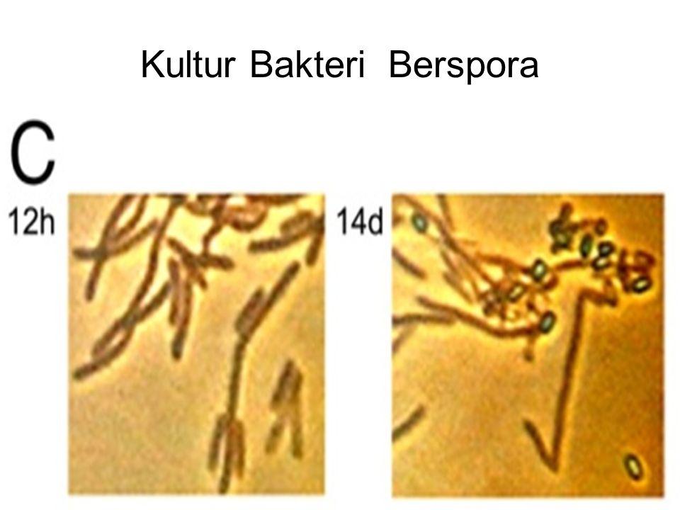 Kultur Bakteri Berspora