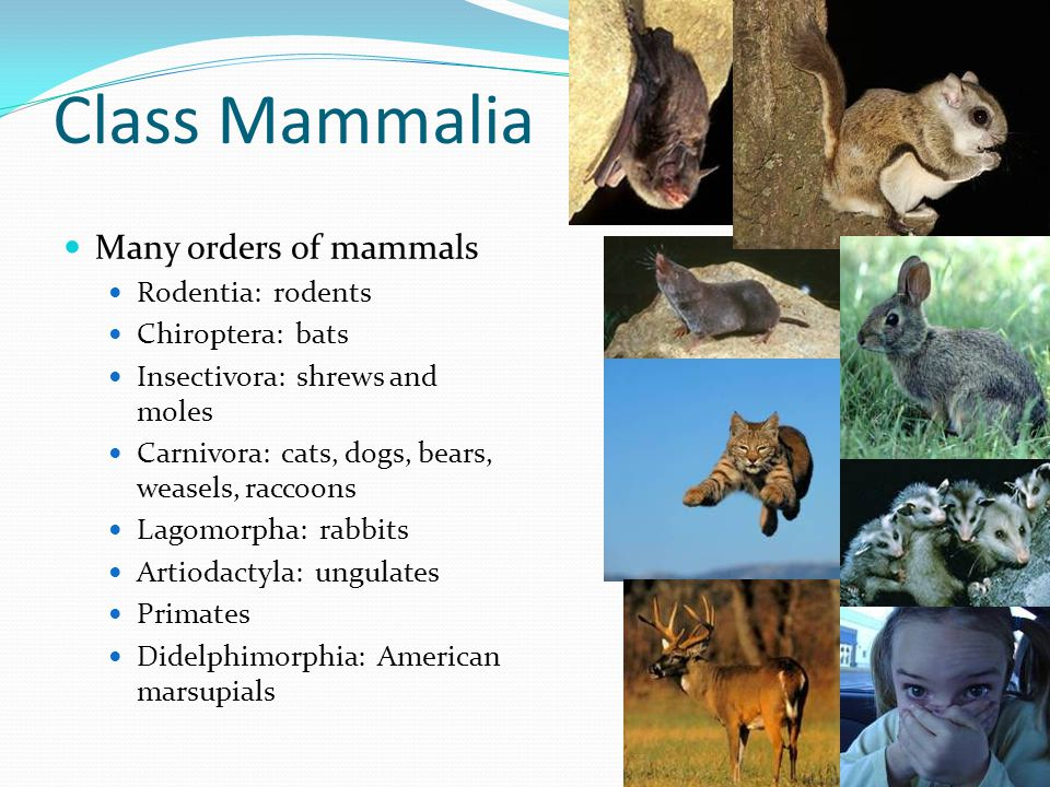 Mammals Hair Endothermic Four-chambered heart Large brain Dentition Teeth specialized Incisors, canines, premolars, molars Reproduction Mammary glands