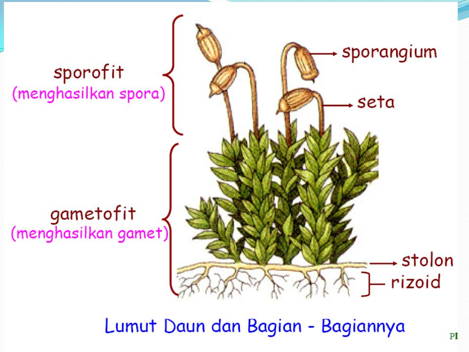 LUMUT Tubuh lumut dibedakan menjadi 2, yaitu 1. Sporofit : tubuh penghasil spora 2. Gametofit: tubuh penghasil gamet (sel kelamin: sperma & ovum) Oleh