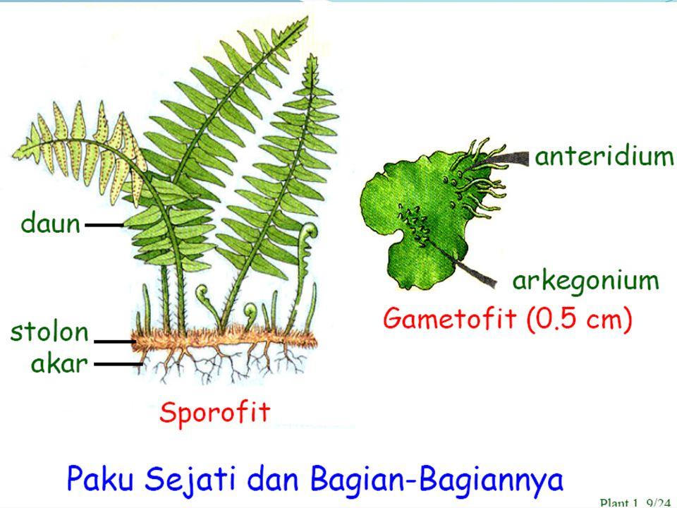 REPRODUKSI: ASEKSUAL: Spora SEKSUAL: Fertilisasi METAGENESIS: SPOROFIT: Tumbuhan paku (dominan) GAMETOFIT: Protalium