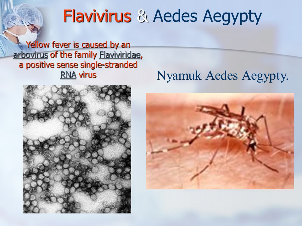 Flavivirus & Flavivirus & Aedes Aegypty Yellow fever is caused by an arbovirus of the family Flaviviridae, a positive sense single-stranded RNA virus