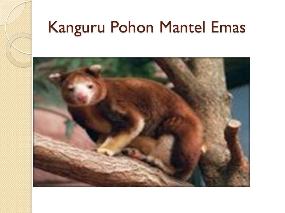 Kanguru Pohon Mantel Emas