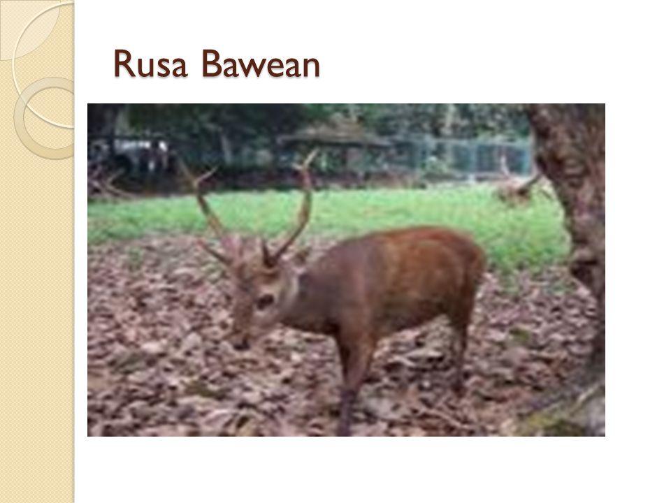 Rusa Bawean