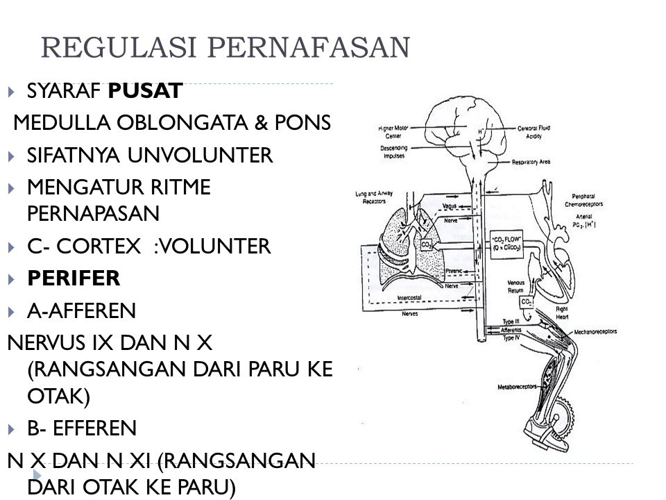 REGULASI PERNAFASAN  SYARAF PUSAT MEDULLA OBLONGATA & PONS  SIFATNYA UNVOLUNTER  MENGATUR RITME PERNAPASAN  C- CORTEX :VOLUNTER  PERIFER  A-AFFEREN NERVUS IX DAN N X (RANGSANGAN DARI PARU KE OTAK)  B- EFFEREN N X DAN N XI (RANGSANGAN DARI OTAK KE PARU)