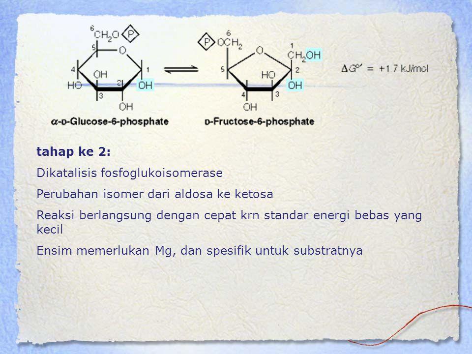 tahap ke 2: Dikatalisis fosfoglukoisomerase Perubahan isomer dari aldosa ke ketosa Reaksi berlangsung dengan cepat krn standar energi bebas yang kecil